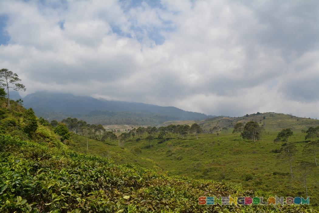 Kebun Teh Kemuning Semarang